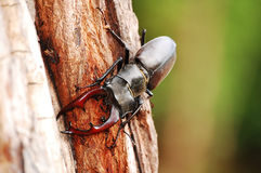Stag beetle on the wood Royalty Free Stock Image
