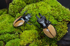 Stag Beetle (Odontolabis mouhoti ) Male and Femal Stock Photo