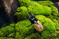 Stag Beetle (Odontolabis mouhoti ) Male Royalty Free Stock Photo