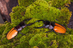Stag Beetle (Odontolabis mouhoti ) Male Royalty Free Stock Photos