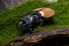 Stag Beetle (Odontolabis mouhoti ) Male Royalty Free Stock Images