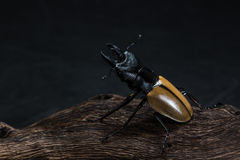 Stag Beetle (Odontolabis mouhoti ) Male Stock Images