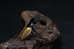 Stag Beetle (Odontolabis mouhoti ) Male Stock Photos