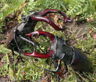 Stag beetles. Battle of two beetles in a forest glade. tournament of two males. may fights for females Royalty Free Stock Photo