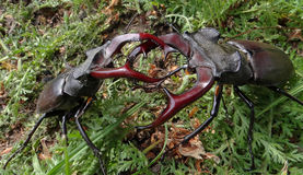 Stag beetles. Battle of two beetles in a forest glade. tournament of two males. may fights for females Stock Image