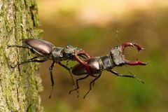 Stag beetles, Lucanus cervus royalty free stock photos