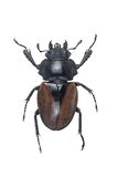 Stag Beetles , Odontolabis elegans f isolated on white background.  stock images