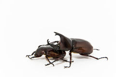 Stag beetles on white background. Male and female stag beetles are mating on white background stock photography