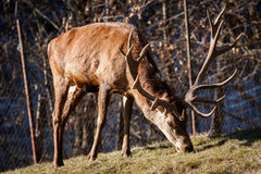Stag. A big deer seen in the Austrian alps. 16 point Royalty Free Stock Images