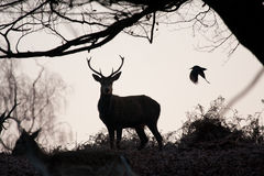 Stag and bird Royalty Free Stock Photography