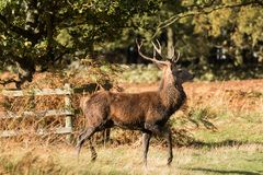 Stag at Bradgate Park. Soft background, sunny autumn day,nice shadows, large stags alone Royalty Free Stock Image