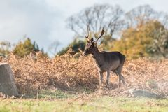 Stag at Bradgate Park. Soft background, sunny autumn day,nice shadows, large stags alone Royalty Free Stock Photography