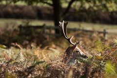 Stag at Bradgate Park. Soft background, sunny autumn day,nice shadows, large stags alone Stock Image