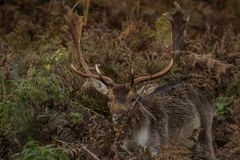 Stag camouflaged in undergrowth royalty free stock images