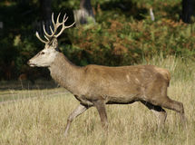Stag Deer. Deer emerges from the undergrowth Stock Photo