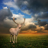 Stag Deer. Male Stag Deer on a Meadow Royalty Free Stock Image