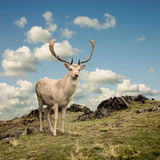 Stag Deer Royalty Free Stock Images