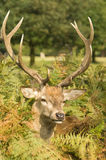 Stag deer Stock Images