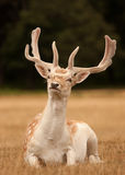 Stag deer with antlers sitting. A stag deer with antlers, sitting in short grass stock images