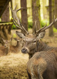 Stag deer Royalty Free Stock Photos