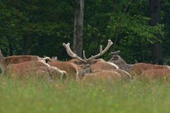 Flock of Deer stag  with growing antler grazing the grass stock photos
