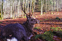 Stag deer resting in woodland Stock Photos