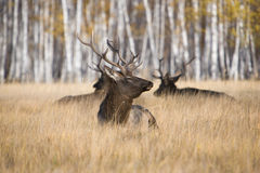 Stag deers in countryside. Group of male stag deers stood in long grass, countryside scene Royalty Free Stock Images
