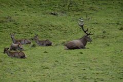 Stag and deers. Photo of a stag with some deers around him Stock Photography