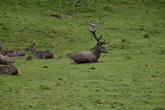 Stag and deers. Photo of a stag with some deers around him Royalty Free Stock Photography