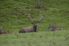 Stag and deers. Photo of a stag with some deers around him Stock Photo