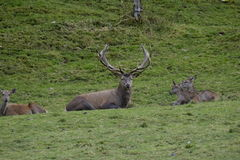 Stag and deers. Photo of a stag with some deers around him Stock Photos