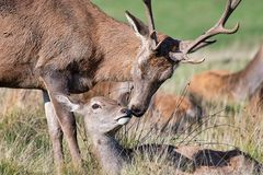 Red deer in embrace. A stag and a doe appear to be kissing. Taken just before the start of the rutting season. The doe is lying down and the stag is leaning over stock images