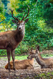 Stag and Does Royalty Free Stock Photos