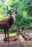 Stag and Does Royalty Free Stock Image