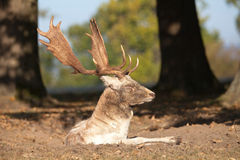 Stag dozing Stock Images