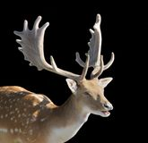 Stag Fallow Deer Royalty Free Stock Photo
