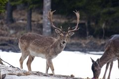 The stag. Fallow deer stag (duma duma Stock Photography