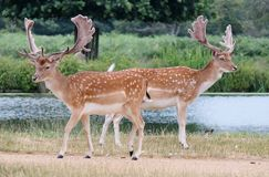 stag fallow deer by river stock image