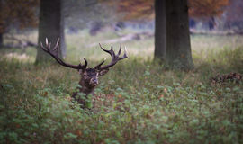 Stag in forest Stock Images