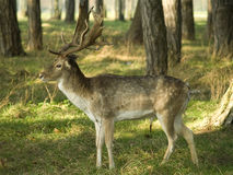 Stag in a forest Stock Photography