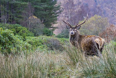 Stag, Glencoe Stock Photography