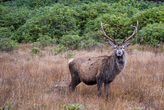 Stag, Glencoe Stock Photo