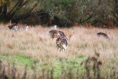 Stag in the grass, New Forest UK royalty free stock photos
