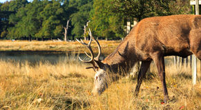Stag Grazing in Richmond Park Royalty Free Stock Photo
