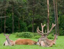 Stag & harem Stock Image