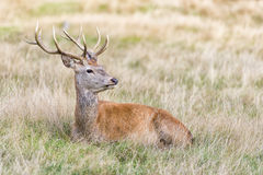 Stag or Hart, the male red deer. The Cervus Elaphus, known as red deer, is the fourth-largest deer species behind moose, elk and sambar deer. It is a ruminant royalty free stock photo