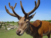 Stag head Stock Image