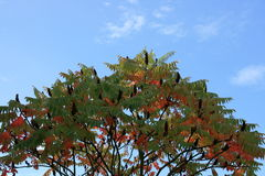 Stag-horn sumac. Autumn stag-horn sumac Rhus hirta, with blue sky background royalty free stock photo
