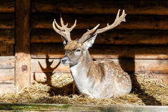 Stag with large antlers Stock Images
