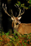 Stag listening to a rivals challenge. A red deer stag listening to the challenge of a rival during the rut Stock Photos